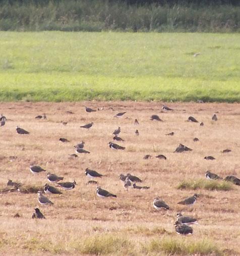 Kibitze auf einer Weide mit Roundup vernichte, weil Blümchen darauf standen suchen Nahrung / Foto: HB