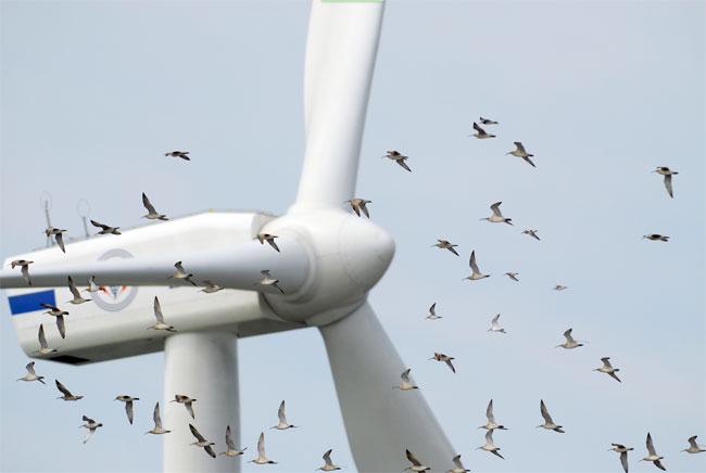 Bildtext: Entgegen eines weitverbreiteten Mythos, navigiert hier ein Vogelschwarm vollkommen unbeschadet um und durch eine chinesische Windturbine. (Fotocredit: Changhua Coast Conservation Action/Flickr)
