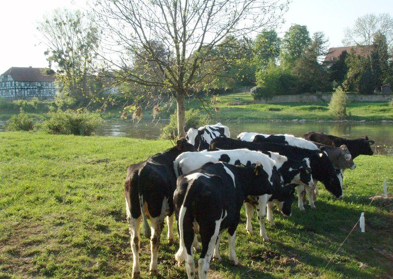 Im Bereich der Weser haben vor allem viehreiche Regionen Schwierigkeiten, die Vorgaben der Wasserrahmenrichtlinie einzuhalten. (© Thünen-Institut/Claudia Heidecke)