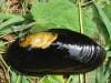 Die vom Aussterben bedrohte Flussperlmuschel (Margaritifera margaritifera). (Foto: TUM/ Geist)