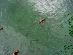 Forellen im Rhein, vor langer Zeit / Foto: HB