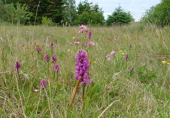 Orchideen-Wiese auf Entsiegelungsfläche in S-H / Foto: HB