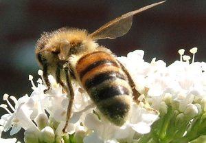 Bienensterben wird auf das Pestizid Glyphosat zurückgeführt / Foto: HB