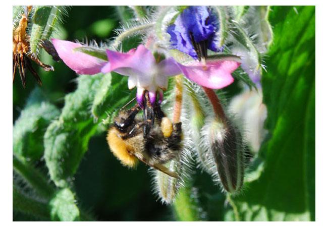 Pflanzenbefruchtung durch Insekten / Foto: HB