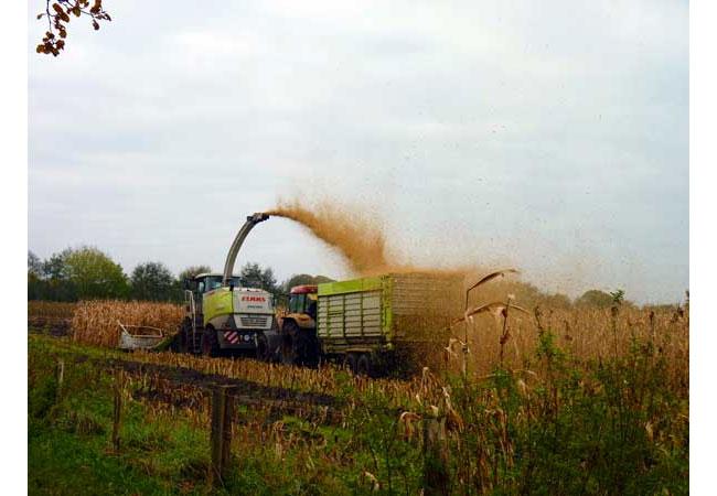 Maisalternative zur Biogasgewinnung / Foto: HB