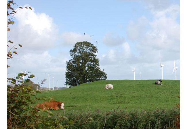 Rinder in Schleswig-Holstein / Foto: HB